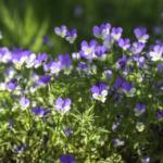 Quels sont les bienfaits des plantes aromatiques ?